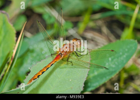 An immature cherry-faced meadowhawk, Sympetrum internum, perched on a leaf in the Wagner Bog Natural Area, Alberta, Canada - Stock Photo