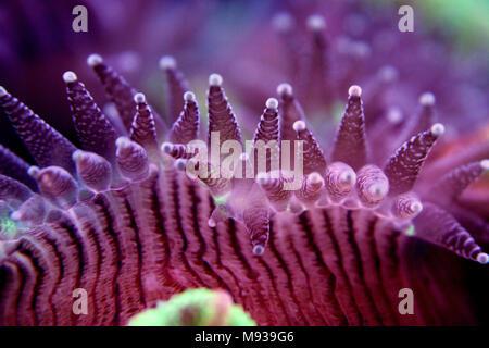 Open brain sp. coral in reef aquarium - Stock Photo