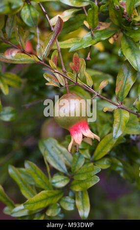 Punica granatum var. nana fruiting in the UK. Pomegranate fruiting in the UK. - Stock Photo