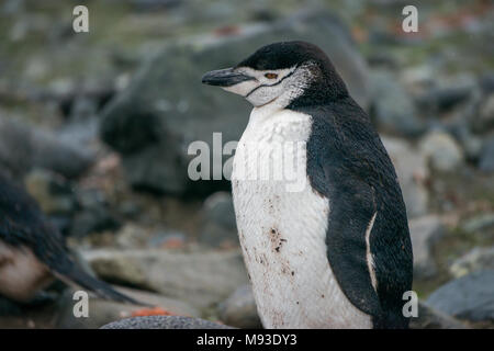 A Chinstrap Penguin (Pygoscelis antarcticus) on a rainy Half Moon Island in Antarctica - Stock Photo