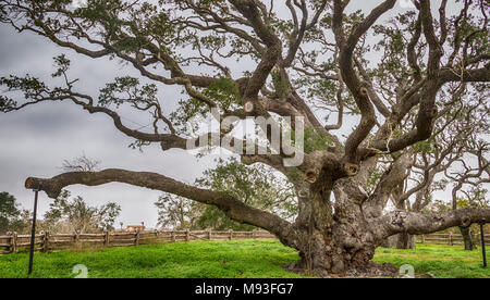 Big Tree Live Oak, more that 1000 years old, at Goose Island State Park near Rockport, Texas. It is estimated to have survived more than 40 hurricanes - Stock Photo