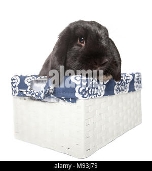 Black holland lop baby rabbit in a white busket isolated from th - Stock Photo