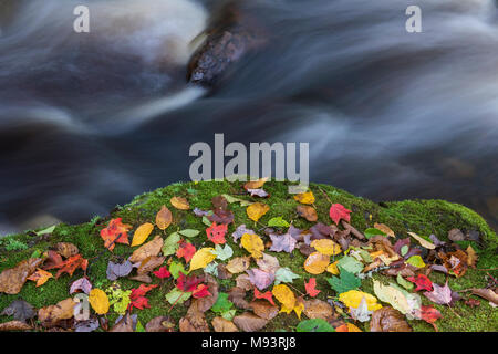 Autumn leaves on mossy boulder. Porcupine Mountains SP, MI, USA, late September, by Dominique Braud/Dembinsky Photo Assoc - Stock Photo