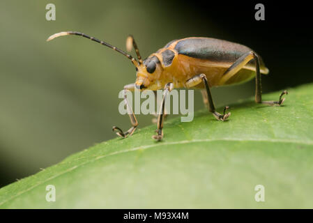 A leaf beetle (Family Chrysomelidae) from Peru. - Stock Photo