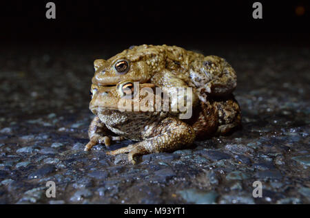 Common Toad - Bufo bufo - mating pair in amplexus found at a notorious migration crossing point on a busy country lane during the breeding migration p - Stock Photo