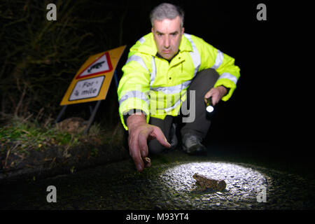 Toad Patrol on a busy Hampshire lane. In early spring every year, thousands of toads, frogs and newts migrate from their hibernation sites to breeding - Stock Photo