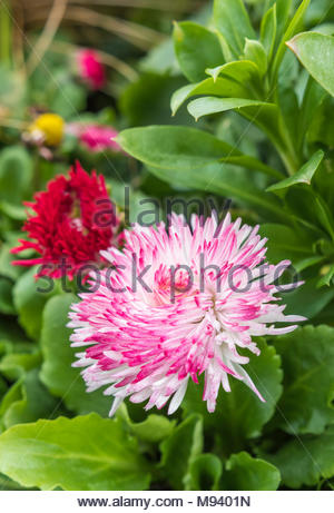 Bellis Perennis 'Habanera Mix' pink and white English Daisy from the Habanera series flowering in early Spring in the UK. Single daisy portrait. - Stock Photo