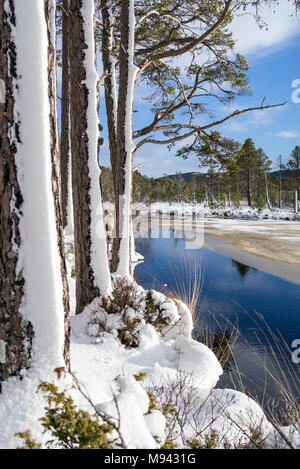 Snow on Scots Pine trees at Loch Mallachie in the Cairngorms National Park of Scotland. - Stock Photo