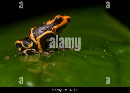 The lowland morph of the red headed poison frog (Ranitomeya fantastica) a species threatened by habitat loss and poaching. Only found in North Peru. - Stock Photo