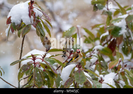 Group of goldfinches in a snowy garden while it's snowing, UK wildlife - Stock Photo