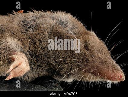 short tailed shrew, side face, md, upper marlboro - Stock Photo