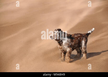 A cocker spaniel dog facing gusts of wind driven sand on a beach. - Stock Photo