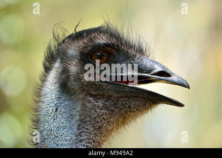 Head of emu bird (Dromaius novaehollandiae), the second-largest living bird by height. - Stock Photo