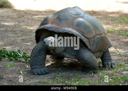 Galapagos giant tortoise (Chelonoidis nigra) are the largest living species of tortoise. - Stock Photo