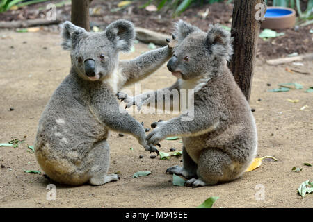 Two koalas sitting on the ground in Queensland, Australia. - Stock Photo