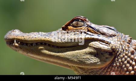 Close-up of head of freshwater crocodile (Crocodylus johnsoni). - Stock Photo