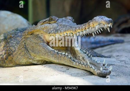 Head of freshwater crocodile (Crocodylus johnsoni) with open mouth. - Stock Photo