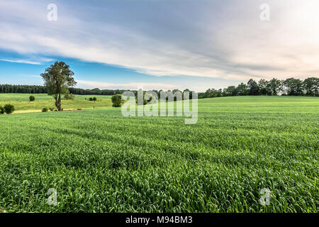 Green field landscape at spring, fresh green grass, agricultural area with cereal cultivation - Stock Photo