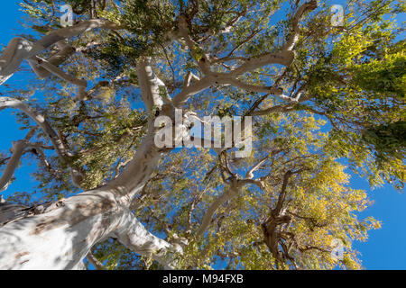 Low angle view branches of the non-native eucalyptus tree, South France, Europe - Stock Photo