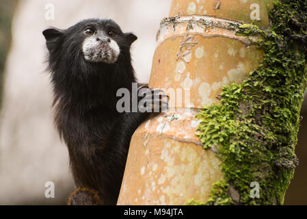 A cute and wild saddle-back tamarin, Saguinus fuscicollis, peeking around a tree trunk to see where the others have gone. - Stock Photo