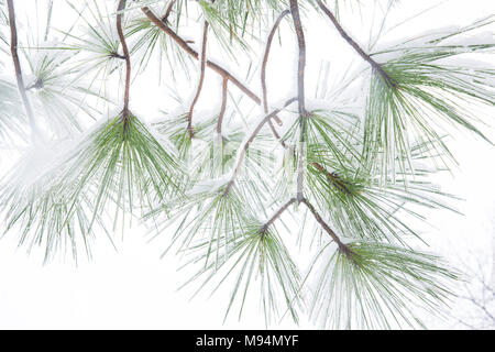 Washington, USA. 21st March, 2018. Snow covers pine tree branches in Washington DC. Credit: Tim Brown/Alamy Live News - Stock Photo