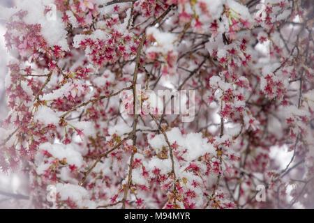 Washington, USA. 21st March, 2018. Fresh snow covers tiny blossoms on a decorative cherry tree in Washington DC. Credit: Tim Brown/Alamy Live News - Stock Photo
