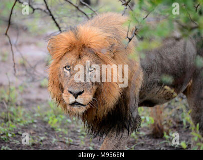 South Africa is a popular tourist destination for its blend of true African and European experiences. Kruger Park wet male lion close-up. - Stock Photo
