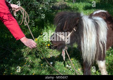 feeding a pony - Stock Photo