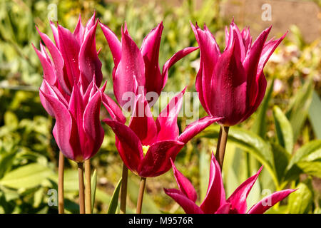 Tulipa 'Maytime' a group of purple lily-flowered tulips in a spring garden setting - Stock Photo