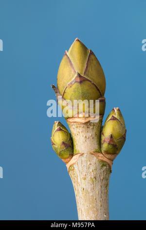 Berg-Ahorn, Bergahorn, Ahorn, Knospe, Knospen, Acer pseudoplatanus, Sycamore, Maple, Erable sycomore, bud, buds, L'érable sycomore, grand érable, érab