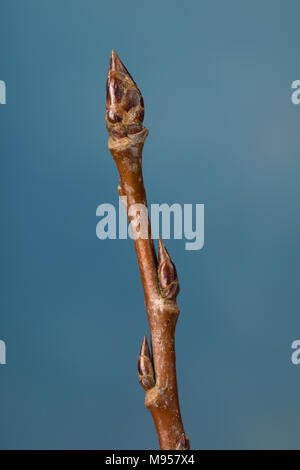 Zitterpappel, Zitter-Pappel, Pappel, Espe, Aspe, Knospe, Knospen, Populus tremula, Aspen, European aspen, quaking aspen, bud, buds, Le Peuplier trembl - Stock Photo