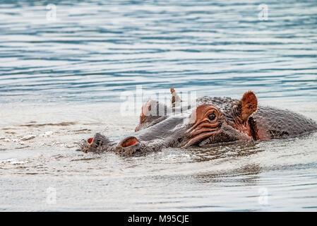 Close hippo or Hippopotamus amphibius in water - Stock Photo