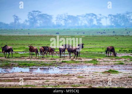 Wildebeests graze in savannah - Stock Photo