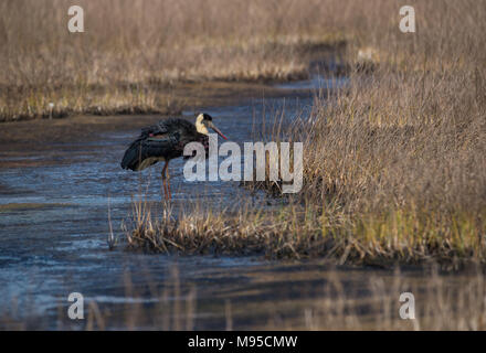 A wolly necked stork bird taking off from a grey wetland habitat - Stock Photo