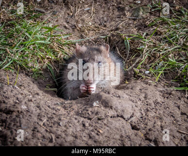 Brown rat Rattus norvegicus feeding at the entrance to its burrow in a sunny bank in Gloucestershire UK - Stock Photo