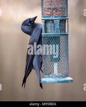 Jackdaw Corvus monedula raiding a small garden bird feeder - Gloucestershire UK - Stock Photo