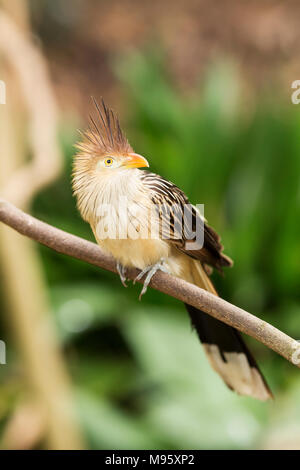 A guira cuckoo (guira guira) perched on the branch of a tree. - Stock Photo