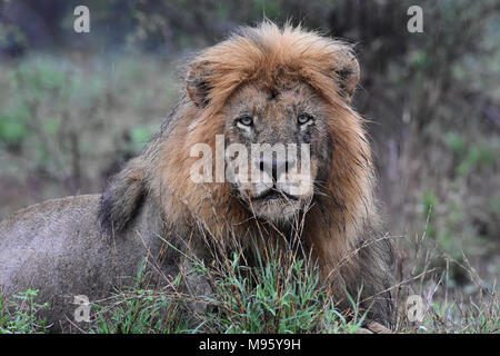 South Africa is a popular tourist destination for its blend of true African and European experiences. Kruger Park is world famous. Wet male lion. - Stock Photo