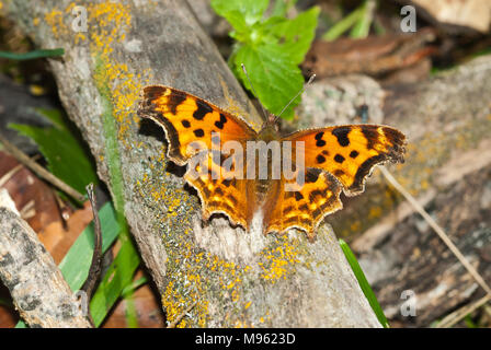 A satyr comma butterfly, Polygonia satyrus, on a fallen log with its wings expanded, Alberta, Canada. - Stock Photo