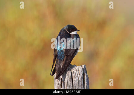 Birds of North America, tree swallow, tachycineta bicolor - Stock Photo