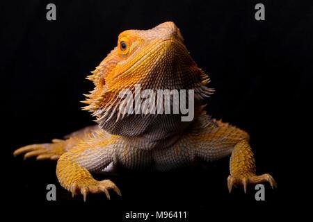 Portrait of a Bearded Dragon on a plain black background - Stock Photo