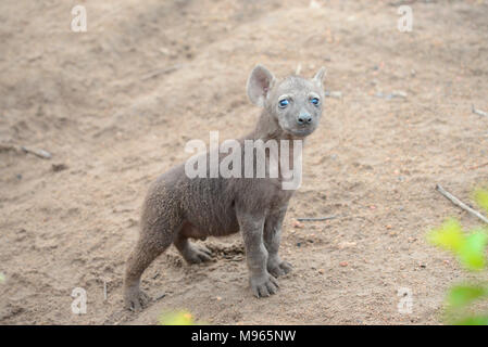 South Africa is a popular tourist destination for its blend of true African and European experiences. Kruger Park baby hyena. - Stock Photo