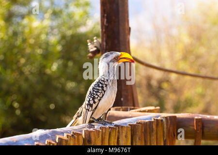southern yellow-billed hornbill close up from Pilanesberg National Park, South Africa. Safari and wildlife. Birdwatching.Tockus leucomelas - Stock Photo