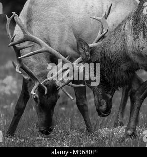 Sparring Roosevelt Elk at Prairie Creek State Park in California - Stock Photo