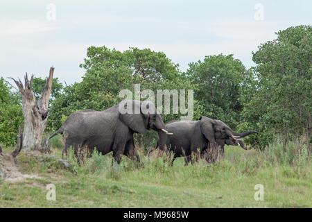 African Elephant (Loxodonta africana). Adult bulls in musth, browse feeding from lower tree foliage. National Park. Okavango Delta. Botswana. Africa. - Stock Photo