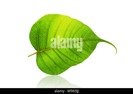 green bodhi leaf or leaves of buddha isolated on white background - Stock Photo