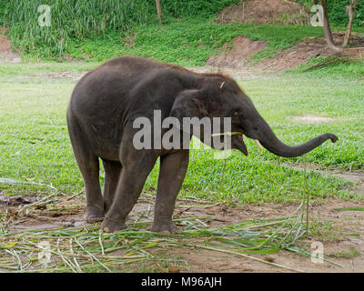 Baby male Indian elephant eating grass while breaking between the show in elephant camp in northern part of Thailand - Stock Photo
