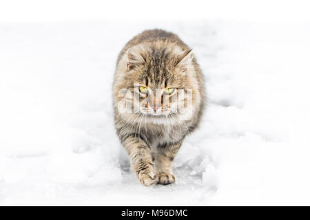 Cat walking in snow and looking into camera - Stock Photo
