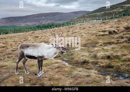 Reindeer roaming the Scottish Highlands in Cairngorm National Park, Scotland - Stock Photo