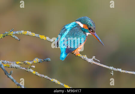 Alcedo atthis (adult female Kingfisher bird) perched on a twig on a cold day in Winter in Arundel, West Sussex, England, UK. - Stock Photo
